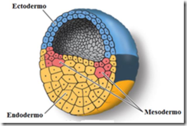 desarrollo embrionario del sistema nervioso pdf