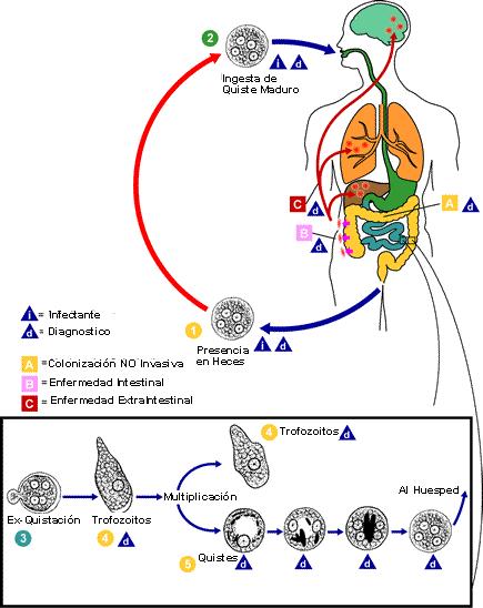 chagas que organos afecta pdf