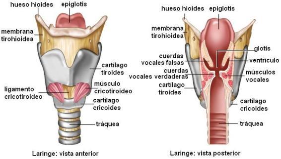 anatomia quirurgica de tiroides pdf