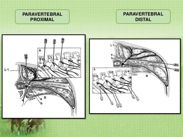 anestesia epidural en bovinos pdf