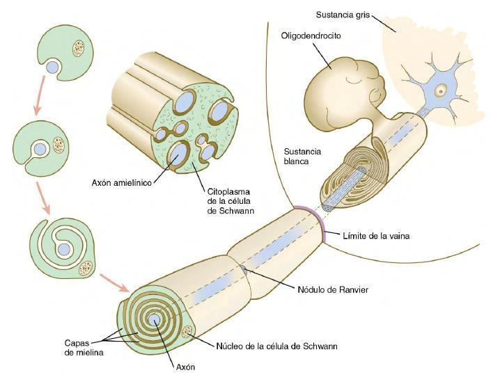 biologia del desarrollo pdf gratis