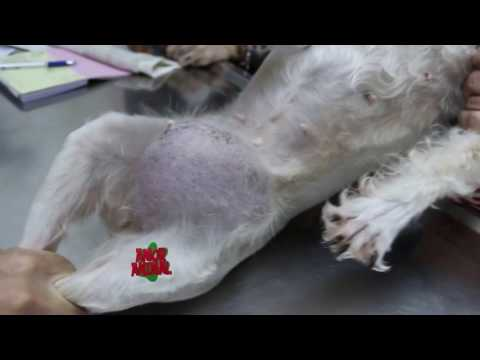 cirugia de hernia umbilical en perros pdf