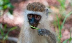 condiciones para tener un mono capuchino en chile